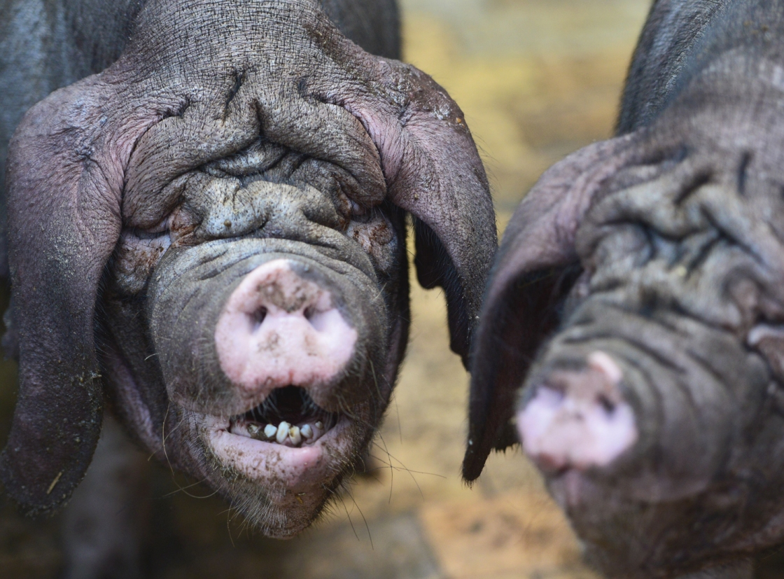 Two Meishan pigs stand in their enclosure in the zoo Tierpark in Berlin, Germany on June 28, 2013. AFP PHOTO / JOHANNES EISELEJOHANNES EISELE/AFP/Getty Images